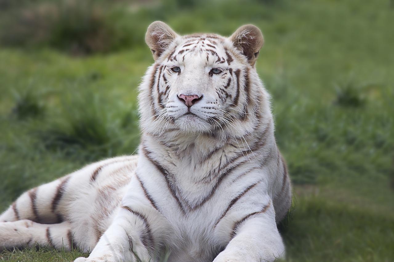Tigre du Bengal - voyage en Inde
