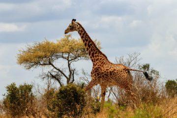 giraffe-Nairobi